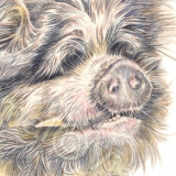 Pig called Frankie. Watercolour