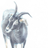 Two goats at a standoff. Watercolour.